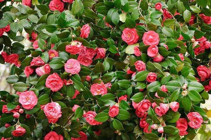 manfaat bunga kamelia untuk kulit