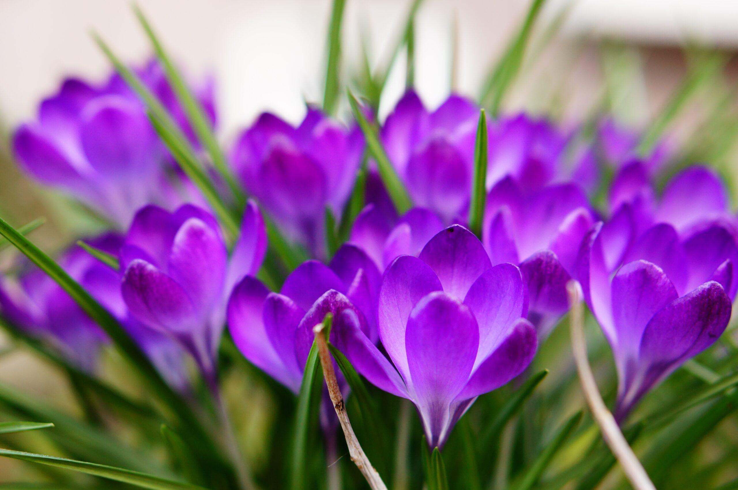 manfaat saffron untuk wajah