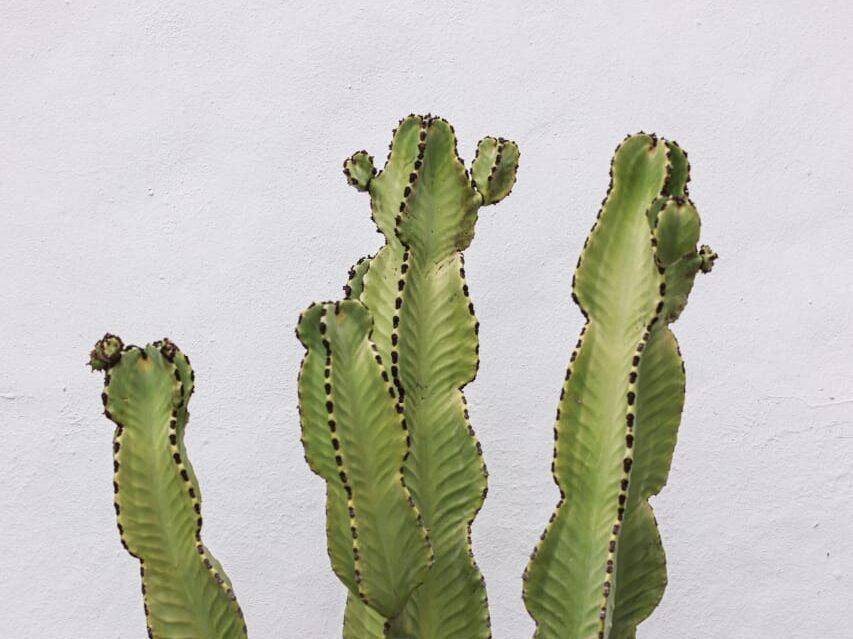 manfaat cactus fruit untuk wajah (1)