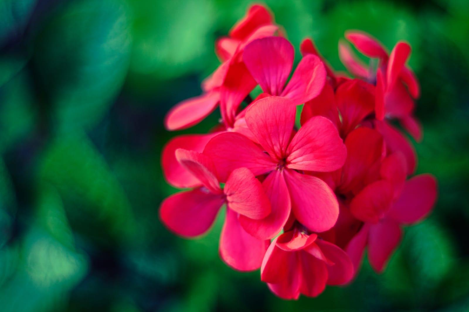 manfaat geranium essential oil untuk kecantikan (2)